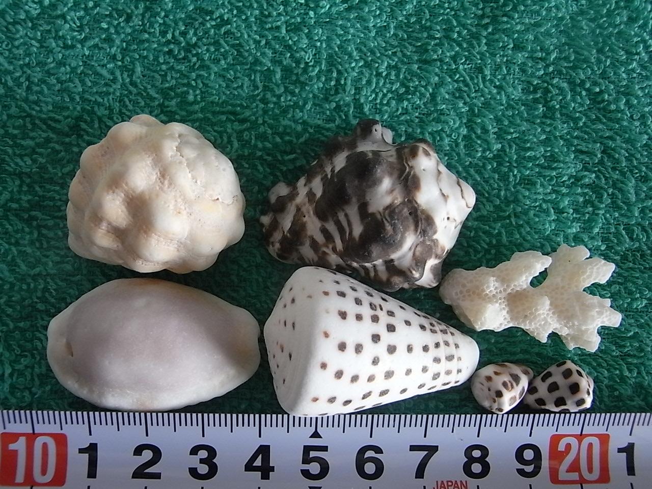 Lサイズ貝ガラ・珊瑚3.5~4.5cm